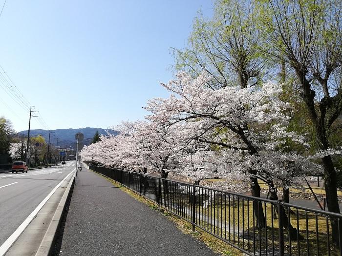 皇子山球場桜