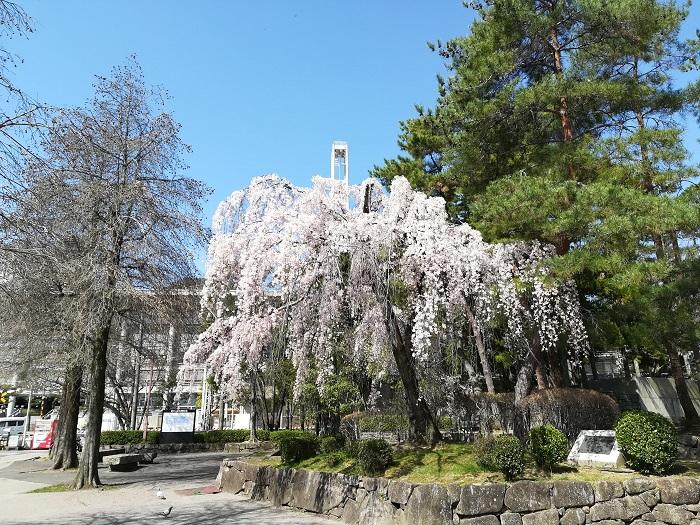 大津市役所前のしだれ桜